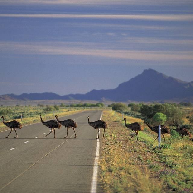 Voyage en Australie - Émeus dans les Flinders Ranges