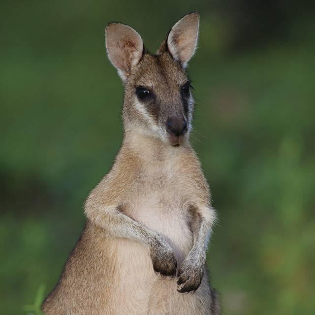 Voyage en Australie - Kangourou Euros