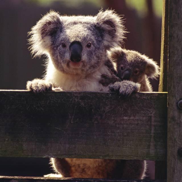 Voyage en Australie - Koala
