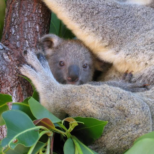 Voyage en Australie - Bébé koala