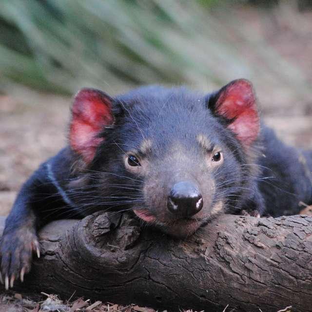 Diable de Tasmanie- Roadtrip Tasmanie -