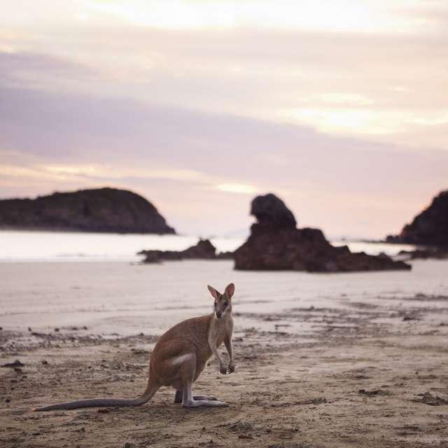Voyage en Australie - Kangourou