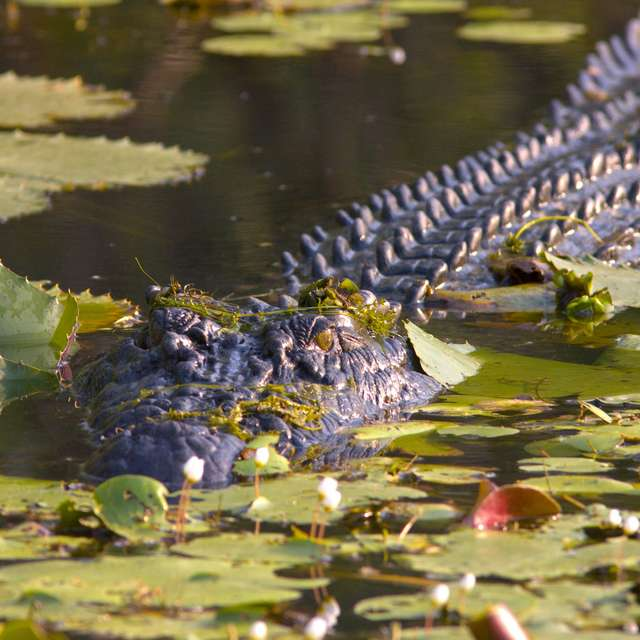 Voyage en Australie - Crocodile