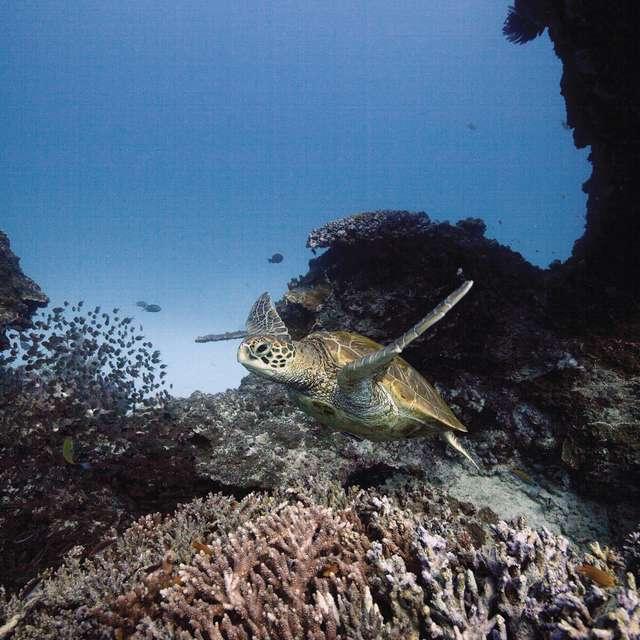 Voyage en Australie - Tortue, Grande Barrière de Corail