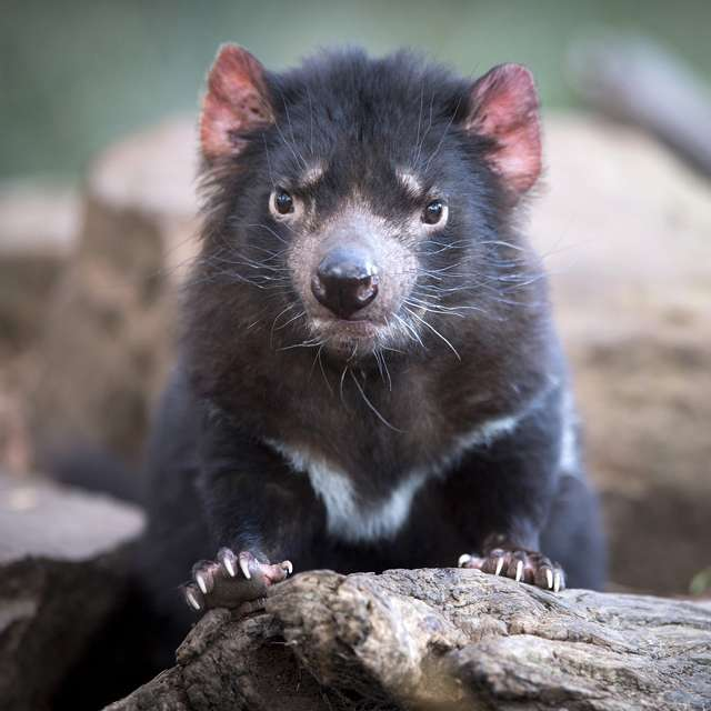 Voyage en Tasmanie - Diable de Tasmanie