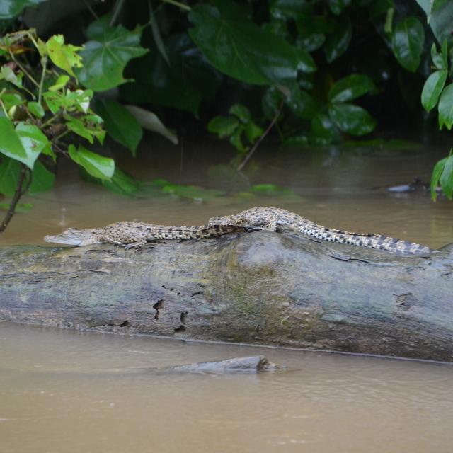 Daintree River - Crocodile - Voyage en Australie