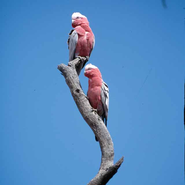 Oiseaux Galah Australie