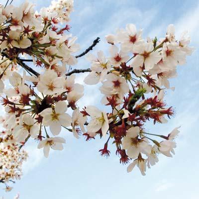 Fleurs de cerisiers tokyo