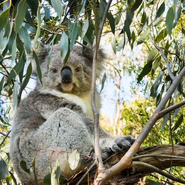 Voyage nature en Australie - Koala