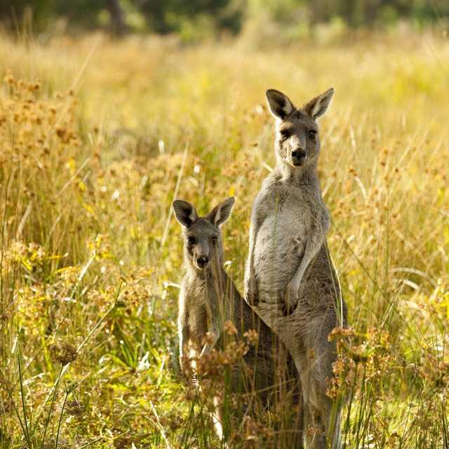 Voyage en Australie - Kangourous
