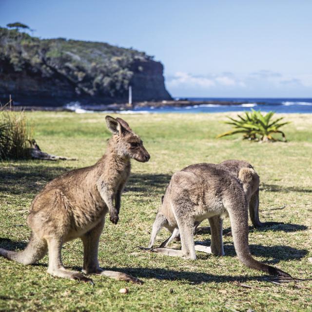 Kangourous - Pebbly Beach - Australie