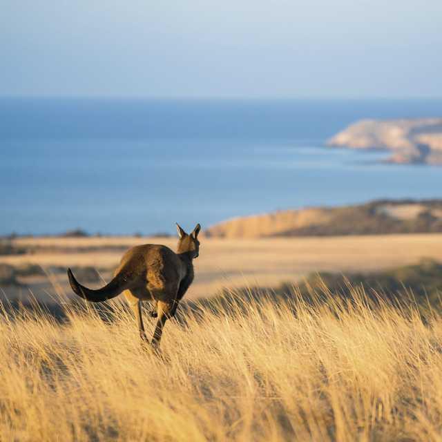 Séjour Kangaroo Island - Kangourou